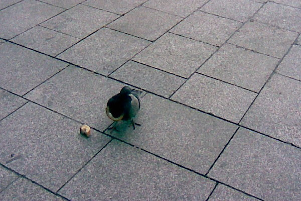Photo009_pigeon