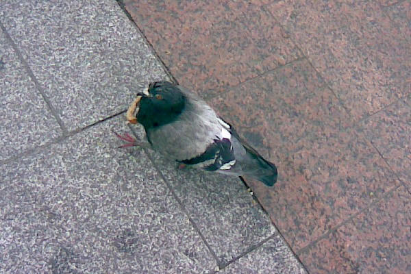 Photo014_pigeon